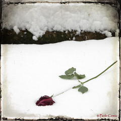 ... (Paolo Cirmia) Tags: snow flower rose squares rosa neve fiore textured