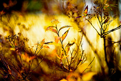 Looking for the Sun (moaan) Tags: life leica winter sun sunlight digital dead 50mm long dof bokeh dr wither summicron utata alive withered deadflower 2012 m9 f20 stillalive longingforspring inlife leicam9 leicasummicronf20dr