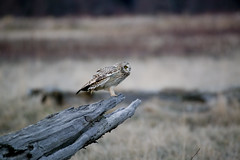 Short-eared Owl 02 Uncropped (sgbaughn) Tags: shortearedowl