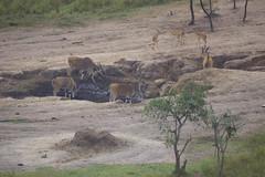 _DSC5599. Eland.  Mihingo Lodge, Lake Mburo N.P.  Uganda. (Berit Christophersen) Tags: uganda eland sonyalpha taurotragusoryx lakemburonationalpark mihingolodge sal500f80