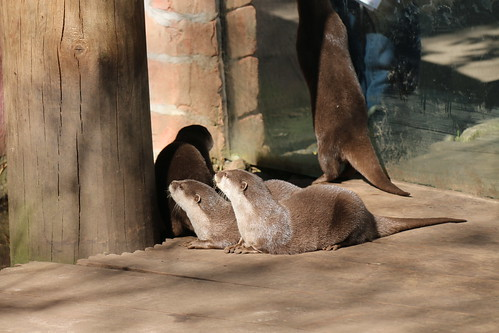 Oriental Small-clawed Otters - Amersfoort Zoo