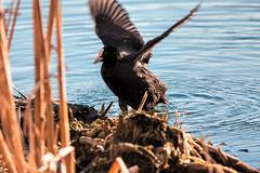 Nokikana / Eurasian Coot (Tuomo Lindfors) Tags: bird water espoo suomi finland clarity dxo eurasian coot vesi lintu nokikana topazlabs suomenoja filmpack suomenojanlintualtaat