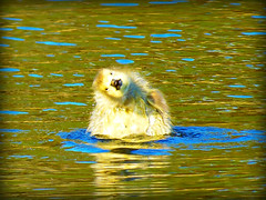 Lookinatme (tark9) Tags: cute bird yellow feathers goose gosling splash sinking fluufy sinkingponds