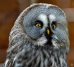 Chouette lapone (mostodol) Tags: park france bird animal wow fuji fujifilm pal allier parc nocturne oiseau auvergne chouette lapone xa1 greatestphotographers