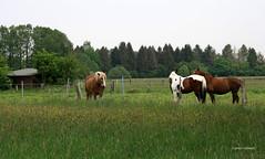 20-IMG_1898 (hemingwayfoto) Tags: blhen gras grasblte grosenheidorn haustier koppel landschaft natur norddeutschland ostufer pferd regionhannover steinhudermeer wiese