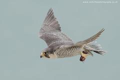 Peregrine (ian hufton photography) Tags: wild bird kent wildlife raptor birdofprey peregrinefalcon ianhufton