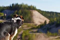 DSC_1629T (juliannahiaasen) Tags: portrait dog pet dogs animal training photography bordercollie australianshepherd dogphotography dogtraining dogportrait dogphotographer