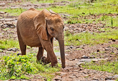 David Sheldrick Elephant Orphanage 11 (Grete Howard LRPS) Tags: safariinafrica safari whichsafaricompany bestsafaricompany calabashadventures travel holiday africa kenya elephants davidsheldrickwildlifetrust elephantorphanage wildelife animals nairobi