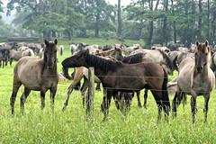 Mustangs and Wild Horses - 2016-0026_Web (berni.radke) Tags: horse pony mustang pferd nordrheinwestfalen colt wildhorse foal fohlen croy herde dlmen feralhorses wildpferdebahn merfelderbruch merfeld przewalskipferd wildpferd dlmenerwildpferd equusferus wildpferdefang dlmenerpferd dlmenpony herzogvoncroy wildhorsetrack