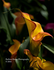 It's All About the Curves (RedHatGal: Barbara Butler/FireCreek Photography) Tags: light orange plant flower macro yellow spring soft shadows outdoor textures bloom callalily blub northernlight richcolor redhatgal firecreekphotography barbarabutlerphotography