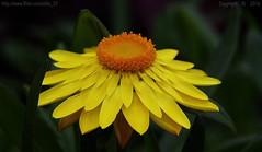 Weekend Flower (Ollie_57.. on/off) Tags: uk plant flower macro nature yellow canon petals spring flora dof bokeh may devon 7d bloom newtonabbot 2016 helichrysum tamronsp90mm plantworld ollie57 bracteanthasundazegold