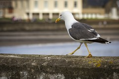 Super Strut (Leanne Boulton) Tags: life street uk light shadow wild urban color colour detail bird texture nature birds animal animals wall fauna canon walking scotland living seaside natural bokeh outdoor wildlife seagull gull beak feathers scene depthoffield attitude shade 7d tone naturalworld avian strutting troon wildlifephotography ef70300mmf456isusm bokehlicious