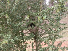 Nest of a Yellow- rumped thornbill in a native boxthorn planted at The Fair.