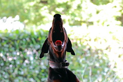 Finally you're baaaaaaack! (Faye Dolittle) Tags: life dog color dogs animal tongue canon mouth happy animallover teeth yawn happiness 7d dobermann