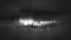 *** (pszcz9) Tags: blackandwhite bw bird nature water monochrome landscape nationalpark sony poland polska wetlands rushes woda a77 ptak przyroda beautifulearth szuwary pejza parknarodowy mokrada