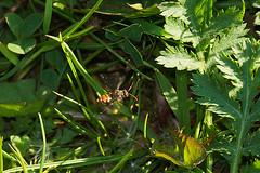 Nomada species (henk.wallays) Tags: abejas macro nature closeup insect wildlife bees natuur bee bier solitary insekt arthropoda abeille bij insecte solitaire aaaa biene sauvage bienen ar hymenoptera insecta bijen  nomada himenpteros  vliesvleugelige solitrbiene solitrbienen hautflgler apiformes imenotteri hymenoptere anthophila  hymnoptres abeillesauvage wespenbiene mehiliset hrtysszrnyak vliesvleugelig  wespbij steklar henkwallays antfilos wespbijen nomadaspecies bonkwki wespenbienen wildebij asalari   revingede bonkoskrzyde kiletiivalised blanokrdlovce opnokrilci phng pravepele zarkanatllar revengjer