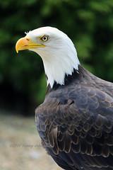 Bald eagle (tommyajohansson) Tags: england geotagged eagle adler hampshire andover raubvogel birdofprey faved aigle guila rn hawkconservancy rovfgel oiseaudeproie hawkconservancytrust avederapia guilacalva weiskopfseeadler pygarguetteblanche tommyajohansson vithvdadhavsrn