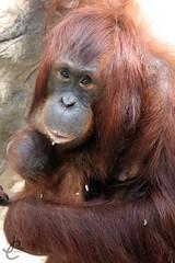 Lowry Park Zoo: Hadiah & Topi (Bornean Orangutans) (Jasmine'sCamera) Tags: park animal animals tampa zoo orangutan lowry lowryparkzoo bornean borneanorangutan