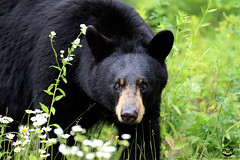 An Old Friend (Megan Lorenz) Tags: bear wild ontario canada nature animal mammal wildlife blackbear wildanimals mlorenz meganlorenz