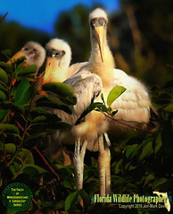 Face to Face with a baby Wood Stork and brother (QuakerVille) Tags: usa art birds florida wildlife alligator chick fl babybird stork delray wetland boyntonbeach f2f woodstork flocks wakodahatchee jonmarkdavey