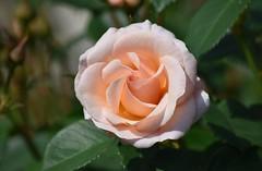 Rose (careth@2012) Tags: nature rose petals
