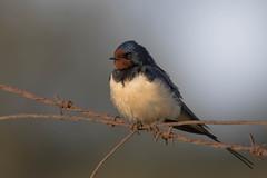 Hirondelle rustique (m-idre31) Tags: bird la photo beaut e sur hrault cette hirondellerustique