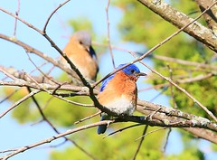 eastern bluebirds at Lake Meyer Park IA 854A7943 (lreis_naturalist) Tags: park county lake male female reis iowa larry bluebird eastern meyer winneshiek