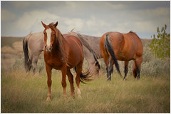 Theodore Roosevelt National Park (Roving Vagabond) Tags: park wild horse usa animal outdoor explorer north roosevelt national range dakota feral theodore medora findyourpark