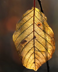 leaf structure (jenny downing) Tags: autumn light shadow nature lines closeup gold golden leaf stem hole bokeh structure twig translucent veins backlit delicate curved autumnal pigment translucence chloroplasts jennypics leafstructure jennydowning soocapartfromacrop gifrancenov photobyjennydowning