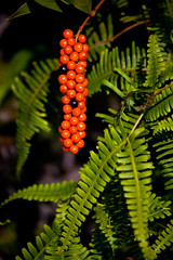 """Coprosmo and Ferns • <a style=""""font-size:0.8em;"""" href=""""http://www.flickr.com/photos/55747300@N00/6409128581/"""" target=""""_blank"""">View on Flickr</a>"""
