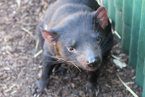 Tasmanian_Devil_15 by variationblogr, on Flickr