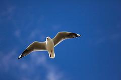 Flight (Michael Bk) Tags: ocean blue sea sky sun white black bird beach canon flying wings wind seagull gull flight beak feathers australia tasmania hobart extender 70200mm tranmere 14x 5dmarkii 5d2 methodphotography