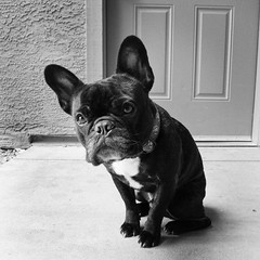 Stare (Lainey1) Tags: bw dog cute canon square eyes funny glare humor adorable bulldog sit stare frenchie frenchbulldog ozzy frogdog s95 lainey1 canons95 elainedudzinski
