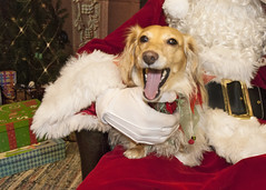 Honey with Santa before the dog fight (Doxieone) Tags: santa christmas xmas red dog white holiday english beard miniature belt cream dachshund suit blonde claus longhaired thelittledoglaughed