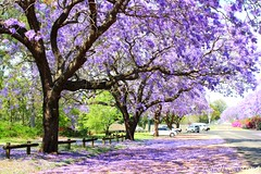 Jacaranda trees - Explored (Hopeisland) Tags: flower      explored       doubleniceshot tripleniceshot