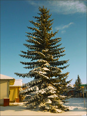 Majestic Winter Pine (LostMyHeadache: Absolutely Free *) Tags: street blue houses winter sky white snow signs cold tree green cars nature pinetree clouds frozen nikon wintercoat fir conifer davidsmith calgaryalbertacanada