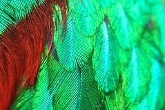 Resplendent Quetzal Feathers (DocNordic) Tags: qerc feathers sangerardodedota costarica mount quetzal resplendentquetzal snu southernnazareneuniversity departmentofbiology fieldstation bird specimen animal animalia animals wild aves avian watching birds central america color image colour costa rica glenn bartley outdoors photography resplendent pharomachrus mocinno tropical wildlife outdoor
