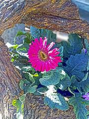 (Luis Diaz Devesa) Tags: red espaa flores flower verde green nokia spain rojo europa europe galiza pontevedra maceta cambados castrelo ofacho luisdiazdevesa