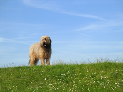 Tibetan Terrier standing on meadow (Batikart ... handicapped ... sorry for no comments) Tags: blue portrait sky dog nature tibetanterrier animal germany europe meadow terrier kiel schleswigholstein 2010 2011 201112 batikart tsangapso gettygermanyq4