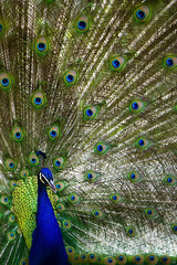 schau ge'n blicke (LeonArts.at) Tags: show eye eyes moments feathers feather peacock exhibition opaque moment straight augen wink auge peafowl trice windowdressing direkt augenblicke directly schwanz blinker augenblick tailfeathers pfau winks peacockbutterfly pfauenauge tailfeather federn peacockmoth schau blickdicht trices schwanzfedern pointoftime