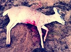 Good little dead deer (tord75) Tags: texas hunting doe deer whitetail falfurrias