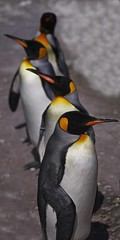 King Penguins Parade (Ian Lambert) Tags: ocean fish snow cold ice scotland 3d parade squid breeding eggs chicks southpole edinburghzoo icecap kingpenguin aptenodytespatagonicus davidattenborough lifeinthefreezer thewonderfulworldofbirds kingemperorpenguin
