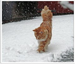 Schneekatze - snow cat (Jorbasa) Tags: schnee red orange pet snow rot animal cat germany deutschland ginger hessen oscarwilde mainecoon katze kater tier tomcat wetterau cc400 jorbasa redtabbywhite