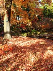 "Late Autumn #6 ""Carpet"" (Marie Eve K.A. (away..)) Tags: tree fall nature autumncolors fallenleaves tints lateautumn     formosansweetgum"