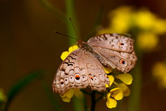 (manwar2010) Tags: art nature canon butterfly geotagged asia gallery tag award explore contacts estrellas geo geotag picnik flickraward earthasia flickrestrellas galleryoffantasticshots