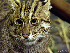 This Cat Likes Water (NTFlicker) Tags: uncropped fishingcat cincinnatizoo nikoncoolpix8800