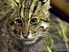 This Cat Likes Water (NTFlicker) Tags: uncropped fishingcat cincinnatizoo nikoncoolpix8800