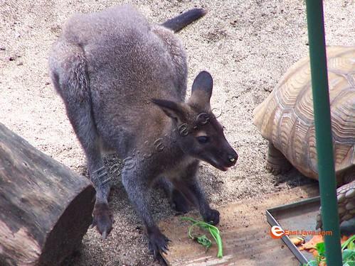Happy Kangaroo At Batu Secret Zoo