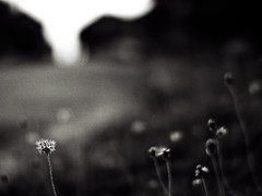 .let go of this yeaR (27147) Tags: street flower grass dark 50mm village voigtlander f11 ricoh nokton a12 gxr 27147 casalunar