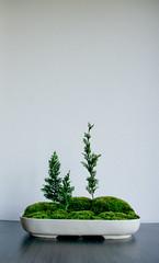 Moss landscape with three slender trees (Otomodachi) Tags: pine landscape miniature moss bomen klein ceramics gardening small mini bowl indoors spar binnen keramiek tuintje schaal boompjes urbangardening tuinieren lanschap miniatuur